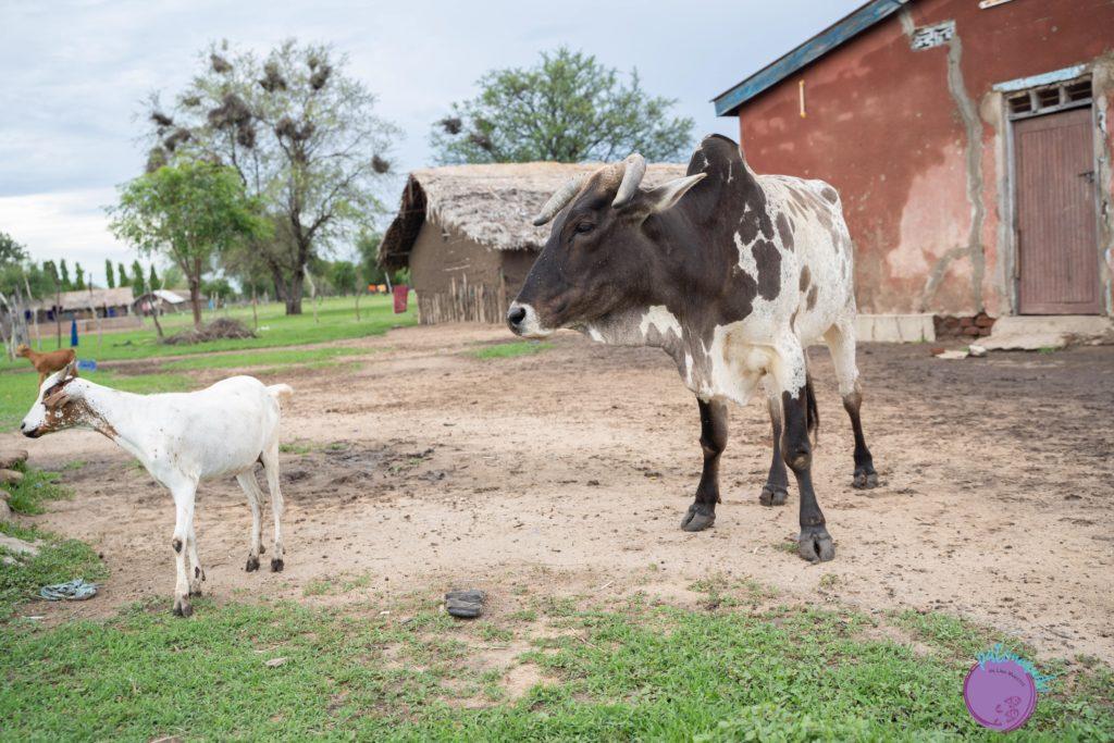 Vacas de los Masais en Tanzania - Patoneando blog de viajes