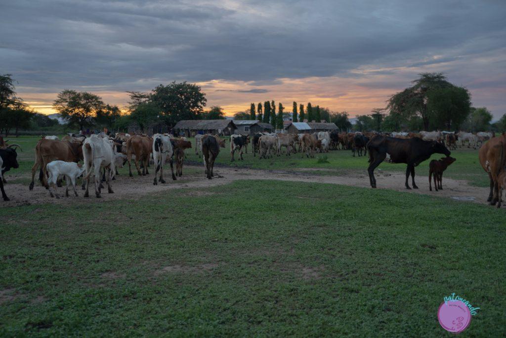 Vacas de los Masais en Tanzania - quienes son los masai - Patoneando blog de viajes